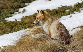 Picture autumn, look, face, snow, spring, slope, Fox, sitting, dry grass, melting
