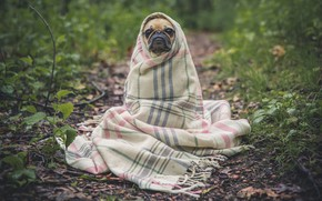 Picture sadness, forest, leaves, dog, pug, fabric, dog