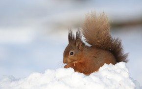 Picture winter, snow, protein, the snow, lunch, rodent