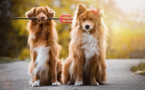Picture road, autumn, dogs, look, face, light, nature, pose, background, dog, puppies, red, friendship, pair, Trident, ...