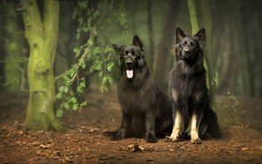 Picture forest, dogs, nature