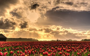 Picture field, the sky, the sun, clouds, rays, light, flowers, beauty, spring, mill, tulips, red, Netherlands, …