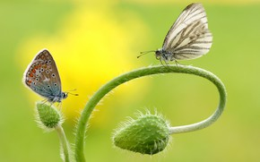 Picture macro, butterfly, flowers, insects, background, butterfly, two, Mac, Maki, stem, pair, bending, a couple, Duo, …