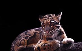 Picture cat, predator, clouded leopard