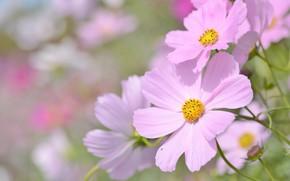 Picture macro, petals, Space, bokeh, Kosmeya