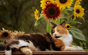 Picture cat, sunflowers, flowers, cat