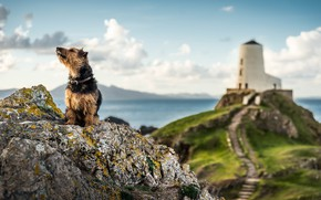 Picture coast, lighthouse, doggie, Wales, Anglesey