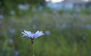 Picture field, flower, macro, nature, bokeh, chicory