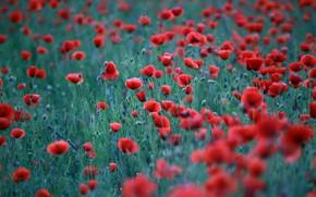 Picture summer, flowers, Maki, meadow, red, bokeh, poppy field