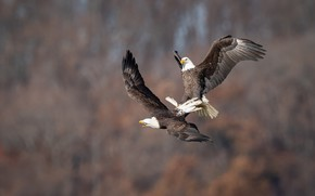 Picture flight, birds, nature, pose, background, pair, the eagles, two, bald eagle, rivals, flap, bald eagles, …