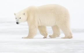 Picture winter, snow, nature, polar bear