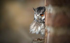 Picture eyes, look, nature, grey, background, owl, bird, portrait, post, Peeps, owl, tail, blurred