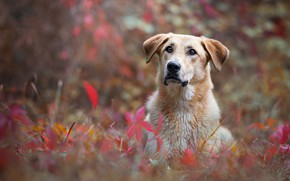 Picture autumn, look, face, leaves, nature, background, foliage, portrait, dog, lies, ears, dog