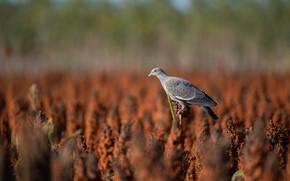 Picture field, bird, dove, plants
