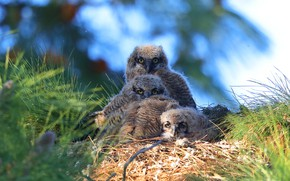 Picture birds, socket, owls, owlets