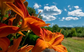 Picture field, summer, the sky, flowers, blue, Lily, orange, the daylilies