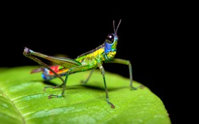 Picture macro, bright, green, leaf, insect, grasshopper, black background, face, colorful, funny