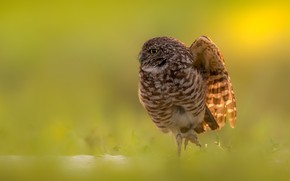 Picture nature, bird, Burrowing owl