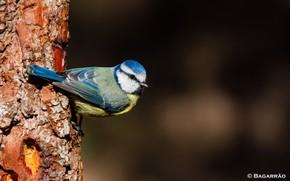Picture background, bird, tit