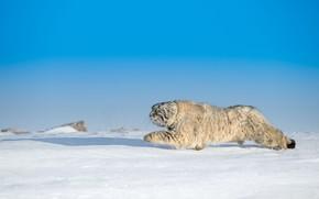 Picture winter, cat, cat, snow, manul