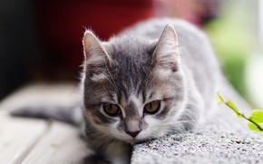 Picture cat, look, kitty, grey, background, portrait, baby, kitty, face, striped, smoky, brown-eyed