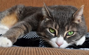 Picture cat, cat, look, face, sofa, portrait, lies, green eyes, grey with white
