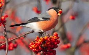 Picture autumn, berries, background, bird, fruit, red, bird, bullfinch, Rowan, blurred, meal, bird