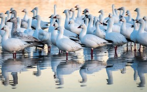 Picture New Mexico, Snow Geese, Anser caerulescens, Bosque del Apache