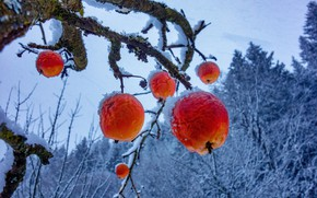Picture winter, frost, snow, branches, nature, tree, apples, red