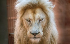Picture prestige, Lion, regard, white lion, dignity