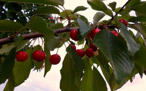Picture branch, cherry, June