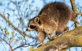 Picture look, light, branches, pose, tree, raccoon, profile, blue background