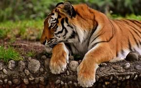 Picture tiger, predator, paws