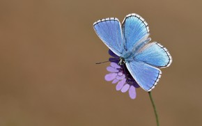 Picture flower, macro, background, butterfly, insect, wings, blue