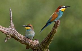 Picture birds, branch, a couple, bee-eaters