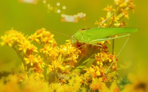 Picture summer, macro, flowers, yellow, green, background, yellow, insect, grasshopper