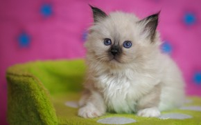 Picture look, pose, green, kitty, background, pink, baby, muzzle, kitty, sitting, blue-eyed, marks, ragdoll