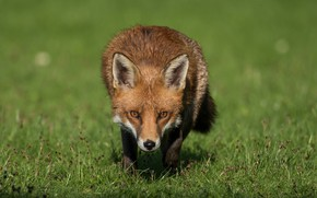 Picture grass, look, face, nature, pose, Fox, red, green background, Fox