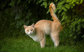 Picture cat, grass, cat, branches, red, tail, cat