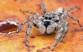 Picture macro, orange, background, leaf, legs, spider, hole, jumper, jumper, spider, the Hoppy