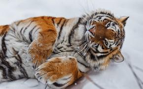 Picture snow, tiger, paws, wild cat, Oleg Bogdanov