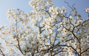 Picture light, flowers, branches, spring, white, flowering, Magnolia