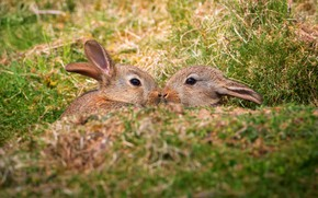 Picture field, grass, nature, spring, rabbit, rabbits, kids, a couple, faces, rabbits