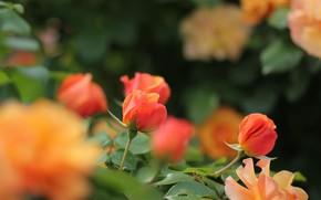 Picture orange, roses, buds