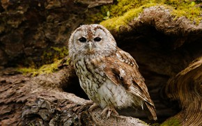 Picture look, nature, background, tree, owl, bird, owl, the hollow, owl