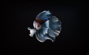Picture Minimalism, Fish, Fish, Background, Art, Goldfish, Valuehost