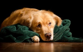 Picture face, red, lies, black background, plaid, Golden, on the floor, Retriever