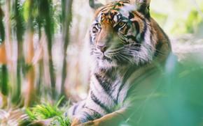 Picture look, face, nature, tiger, portrait, blur, lies, bokeh