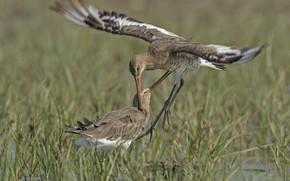 Picture grass, birds, swamp, pair