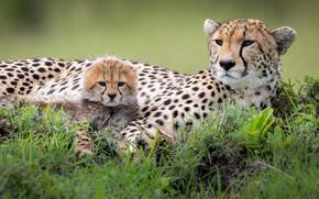 Picture grass, stay, baby, pair, Cheetah, cub, mom, two, muzzle, lie, cheetahs, two Cheetah